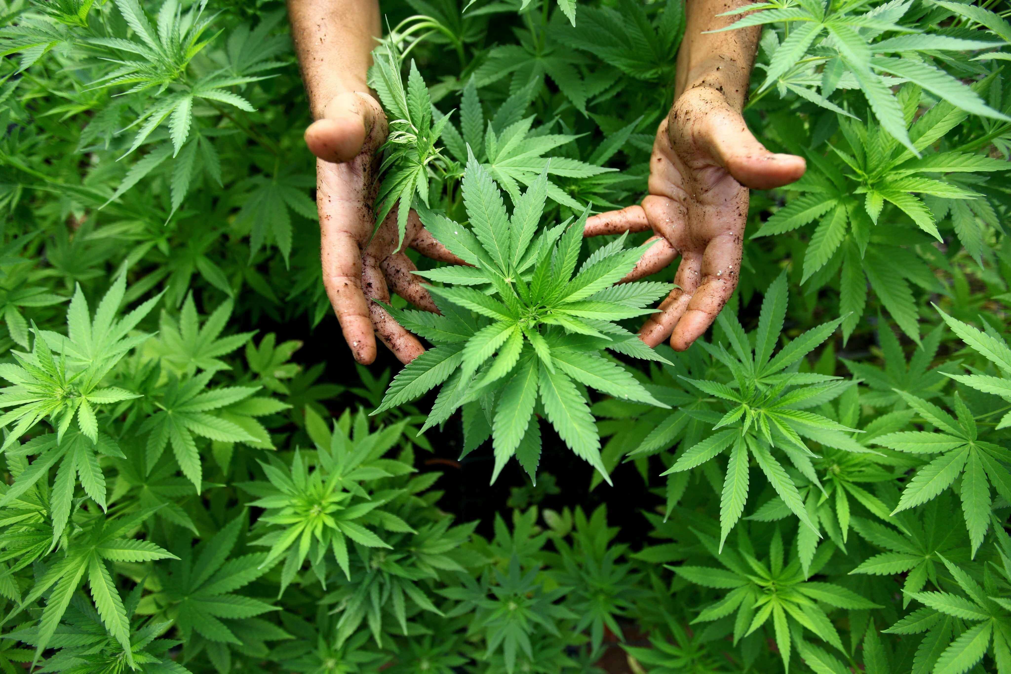 De Cannabis plant: liefhebber onder de wetenschappers
